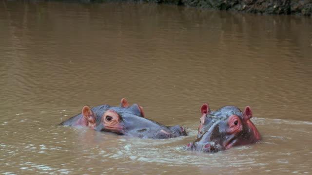 Two Hippopotamus Head In River Maasai Mara, Kenya, Africa