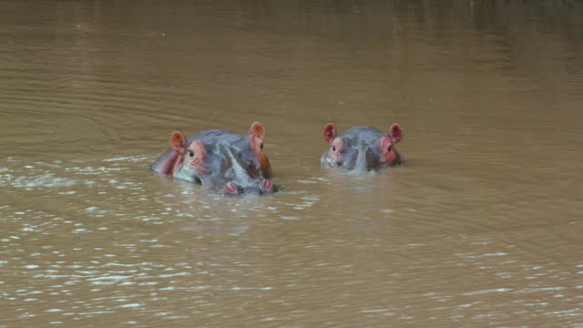 Two Hippopotamus Heads In River Maasai Mara, Kenya, Africa