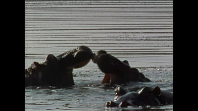 WS Two hippopotamus males lightly sparring in water mouths open pushing on jaws WS Male bull hippo mating w/ submerged female briefly raising head...