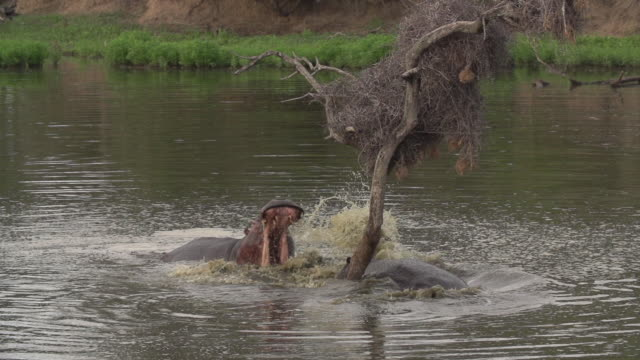 ms of two hippos baring teeth and fighting in a dam, kruger national park, south africa - hippopotamus stock videos & royalty-free footage
