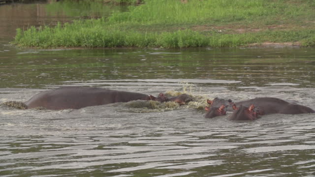 two hippos explode out of water and attack each other with jaws gaping, kruger national park, south africa - mpumalanga province stock videos and b-roll footage