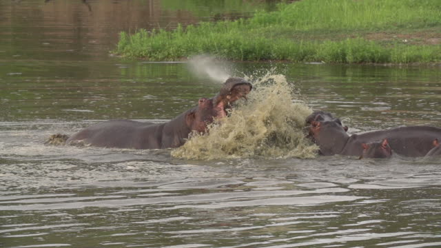 two hippos explode out of water and attack each other with jaws gaping, kruger national park, south africa - wildlife reserve stock videos & royalty-free footage