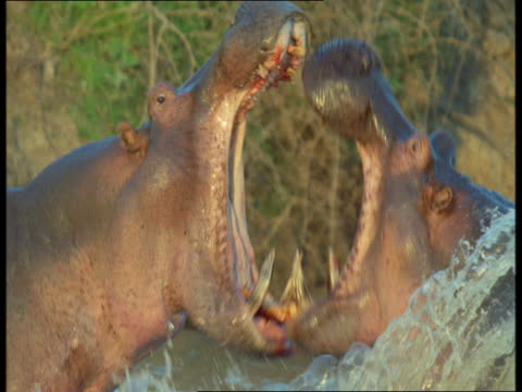 Two hippos fight each other with their sharp teeth.