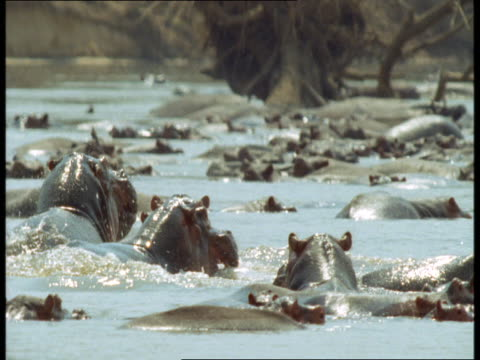 Two hippos fight in a shallow river.