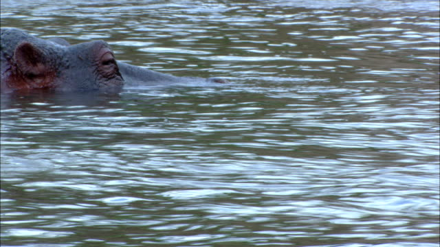 stockvideo's en b-roll-footage met two hippos slowly surface in a rippling river. - waden