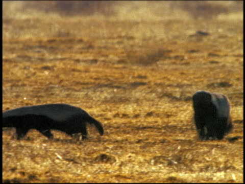 PAN two honey badgers (ratels) searching around for food on ground / Serengeti, Tanzania, Africa