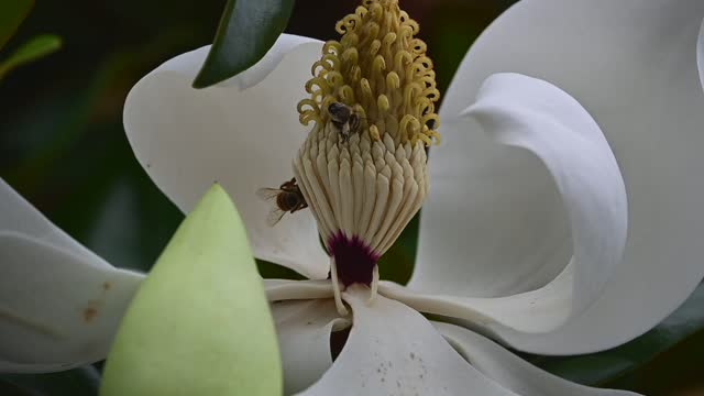 two honey bees on a southern magnolia - stamen stock videos & royalty-free footage
