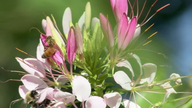 cu two honey bees on flower, north plainfield, new jersey, usa - staubblatt stock-videos und b-roll-filmmaterial
