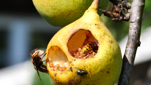 two hornets hollow out a pear - pear stock videos & royalty-free footage