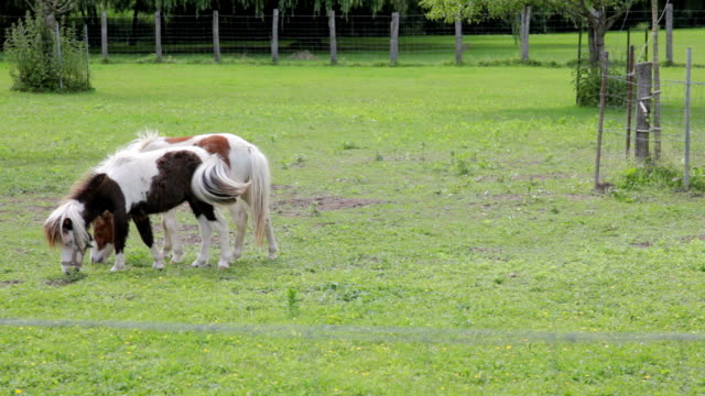 two horses eating grass. burgundy - pinto bean stock videos and b-roll footage