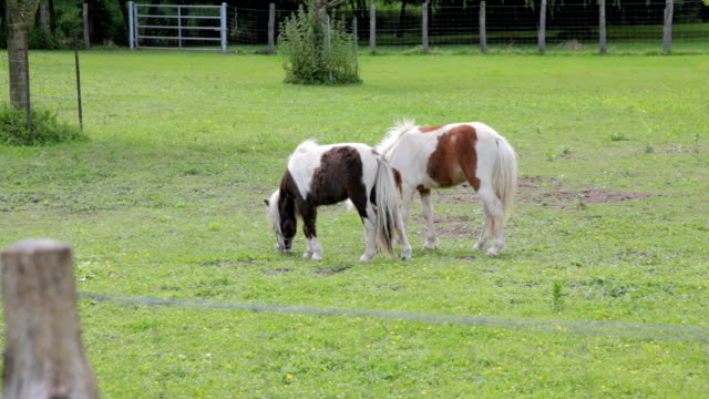 two horses grazing in grassy field, ranch or farm animals - pinto bean stock videos and b-roll footage