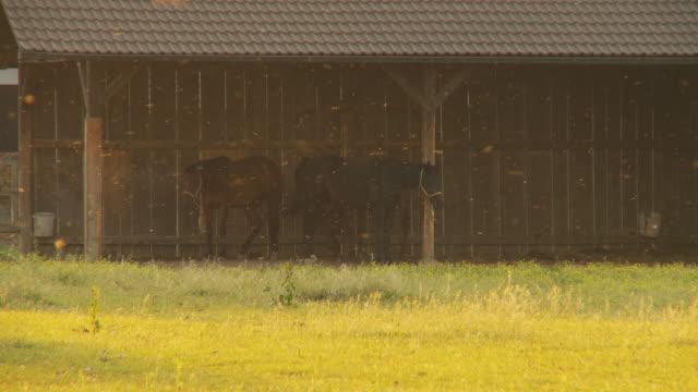 hd :馬、2 つのクローゼット - 雄馬点の映像素材/bロール