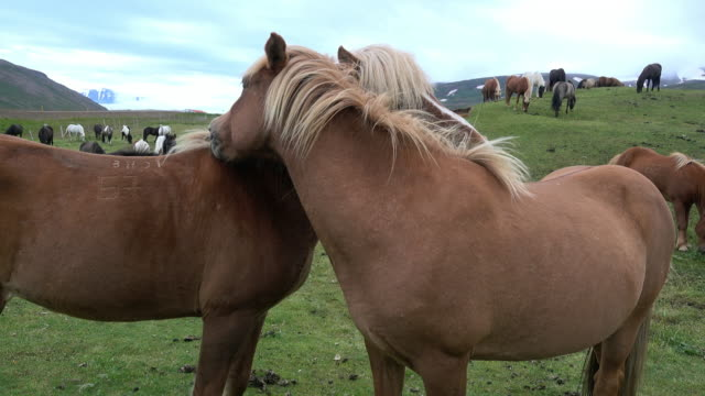 stockvideo's en b-roll-footage met two horses necking on green meadow - dierenverzorging