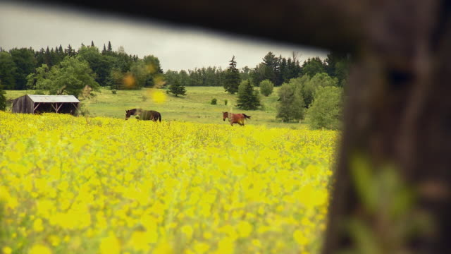 WS SELECTIVE FOCUS Two horses on field of yellow wildflowers / Morristown, Vermont, USA