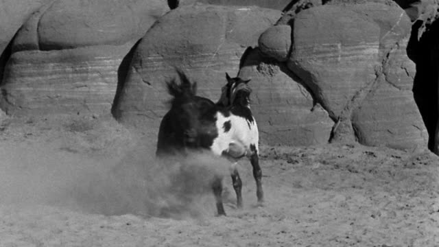 B/W two horses running in circles + kicking back feet at each other in desert
