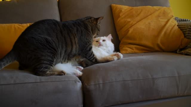 vídeos de stock, filmes e b-roll de dois gatos da casa jogam a luta no sofá do quarto de família - posição de combate