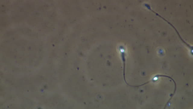 two human sperm swimming, best, phase contrast - flagello video stock e b–roll