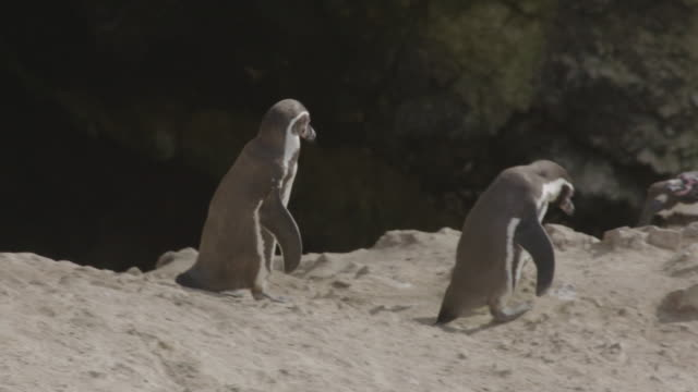 two humbolt penguins walking to a cliff edge - 岩肌点の映像素材/bロール
