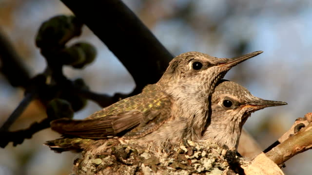 two humming birds - animal nest stock videos & royalty-free footage