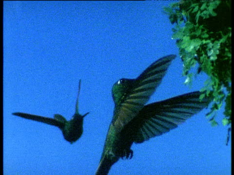 two hummingbirds hover and maneuver around each other with extreme skill - hummingbird stock videos and b-roll footage