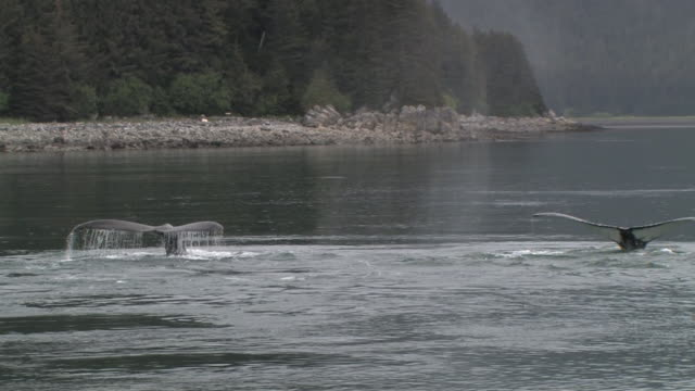 ms, two humpback whales (megaptera novaeangliae) breaching in glacier bay, glacier bay national park and preserve, alaska, usa - lobtailing stock videos & royalty-free footage