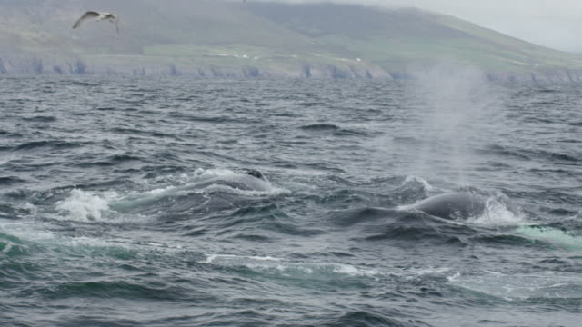 Two humpback whales breaching off Irish coast