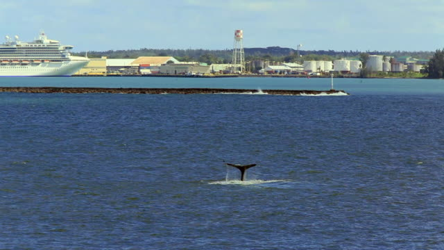 ws two humpback whales (megaptera novaengliae) in hilo bay near port / hilo, hawaii, usa - cetacea bildbanksvideor och videomaterial från bakom kulisserna