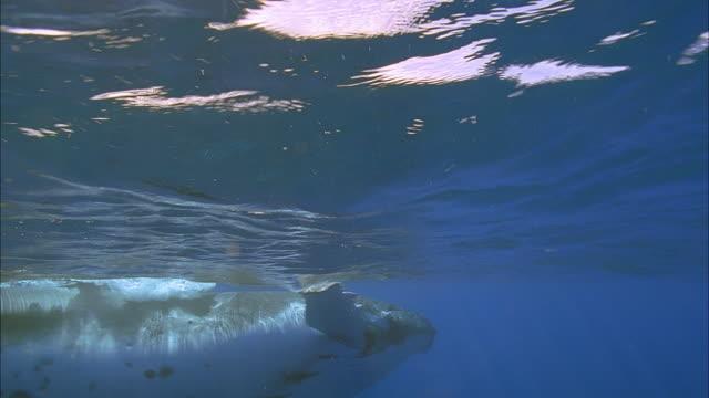 slo mo ms two humpback whales (megaptera novaeangliae) swimming at ocean surface / moorea, tahiti, french polynesia - moorea stock videos & royalty-free footage