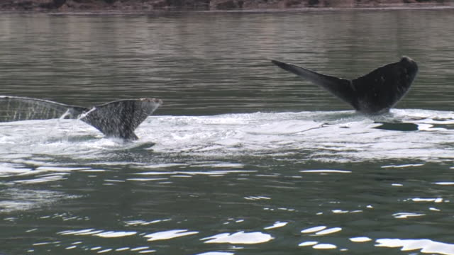 cu, two humpback whales (megaptera novaeangliae) swimming in glacier bay, glacier bay national park and preserve, alaska, usa - lobtailing stock videos & royalty-free footage