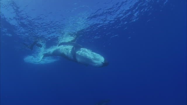SLO MO WS Two Humpback whales (Megaptera novaeangliae) swimming in ocean, diver with camera in background / Moorea, Tahiti, French Polynesia
