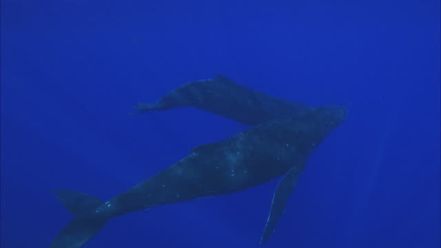 slo mo ws two humpback whales (megaptera novaeangliae) swimming in ocean / moorea, tahiti, french polynesia - tahiti stock videos & royalty-free footage