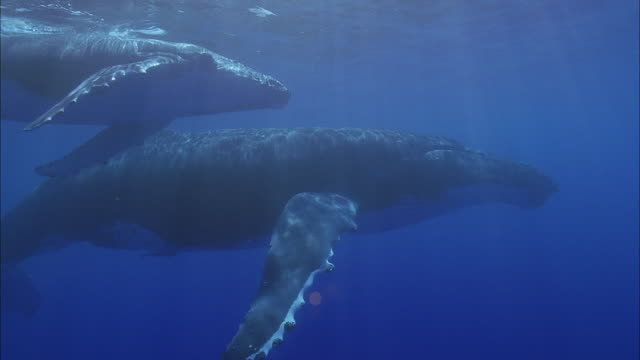 stockvideo's en b-roll-footage met slo mo ms two humpback whales (megaptera novaeangliae) swimming in ocean / moorea, tahiti, french polynesia - walvis