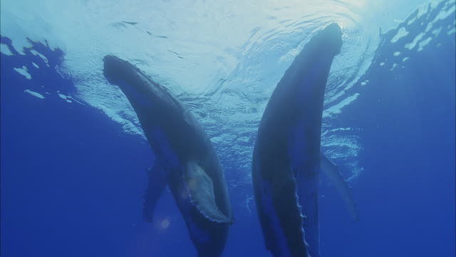 slo mo ms la two humpback whales (megaptera novaeangliae) swimming in ocean / moorea, tahiti, french polynesia - tahiti video stock e b–roll