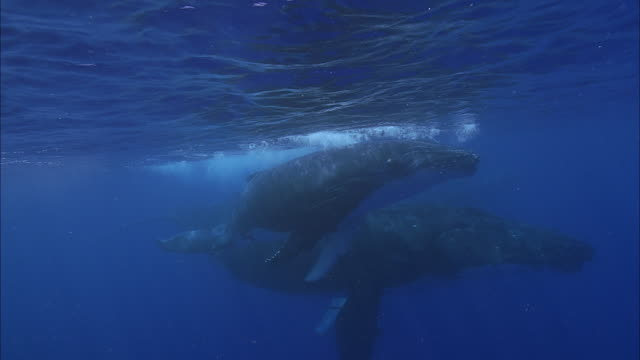slo mo ms two humpback whales (megaptera novaeangliae) swimming in ocean / moorea, tahiti, french polynesia - tahiti stock videos & royalty-free footage