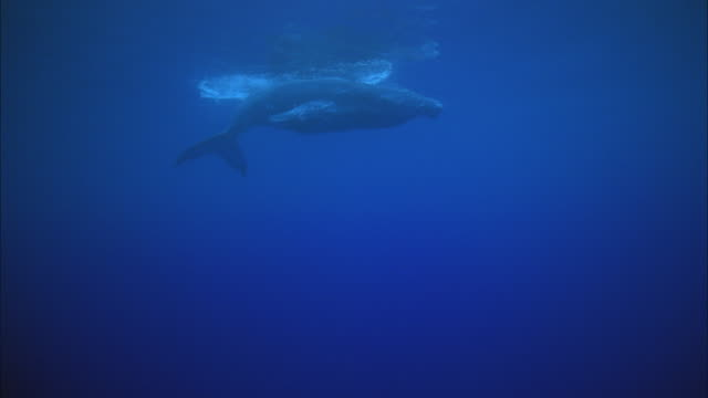 SLO MO WS MS Two humpback whales (Megaptera novaeangliae) swimming in ocean / Moorea, Tahiti, French Polynesia