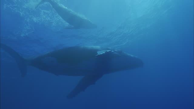 slo mo ms la two humpback whales (megaptera novaeangliae) swimming in ocean / moorea, tahiti, french polynesia - tahiti stock videos & royalty-free footage