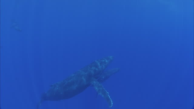 slo mo ws two humpback whales (megaptera novaeangliae) swimming in ocean / moorea, tahiti, french polynesia - tahiti stock videos & royalty-free footage