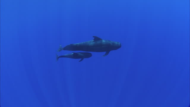 slo mo ws two humpback whales (megaptera novaeangliae) swimming in ocean / moorea, tahiti, french polynesia - tahiti video stock e b–roll