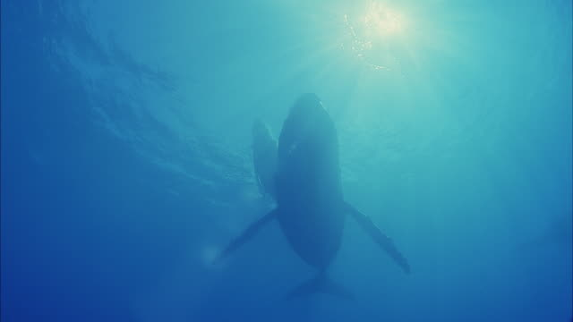 slo mo ws la two humpback whales (megaptera novaeangliae) swimming in ocean / moorea, tahiti, french polynesia - tahiti stock videos & royalty-free footage