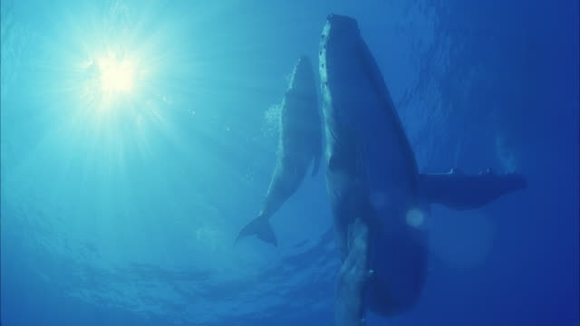 slo mo ws la two humpback whales (megaptera novaeangliae) swimming in ocean / moorea, tahiti, french polynesia - tahiti video stock e b–roll