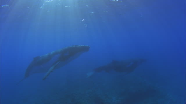 SLO MO WS Two Humpback whales (Megaptera novaeangliae) swimming in ocean / Moorea, Tahiti, French Polynesia