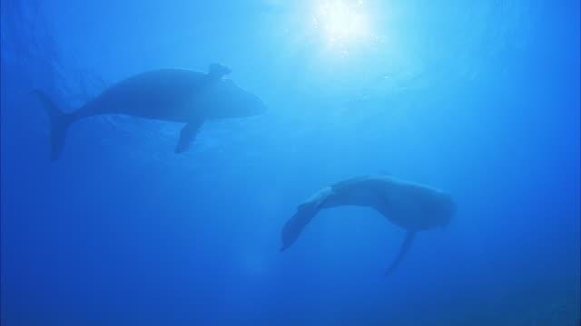SLO MO WS LA Two Humpback whales (Megaptera novaeangliae) swimming in ocean / Moorea, Tahiti, French Polynesia