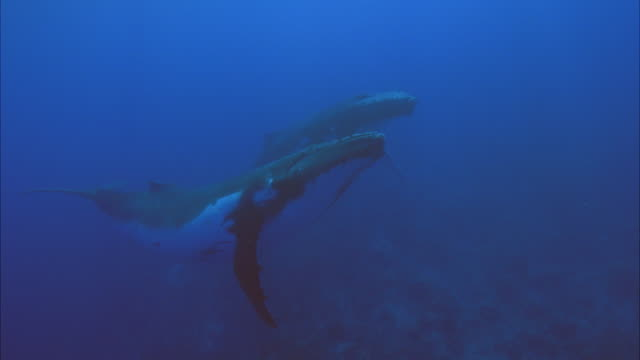 SLO MO MS Two Humpback whales (Megaptera novaeangliae) swimming in ocean / Moorea, Tahiti, French Polynesia