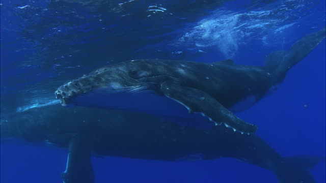 SLO MO MS Two Humpback whales (Megaptera novaeangliae) swimming underwater / Moorea, Tahiti, French Polynesia