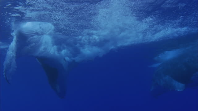 slo mo ms two humpback whales (megaptera novaeangliae) swimming underwater / moorea, tahiti, french polynesia - cetacea stock videos & royalty-free footage
