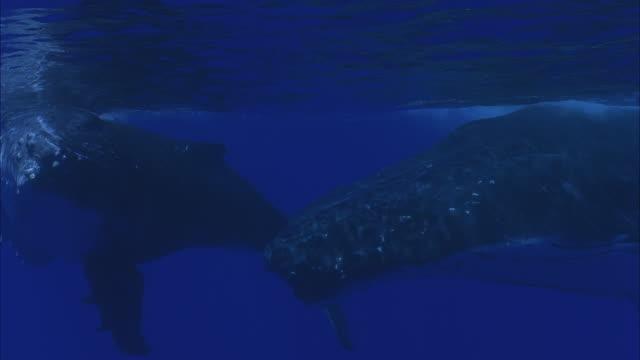 SLO MO MS Two Humpback whales (Megaptera novaeangliae) swimming underwater / Moorea, Tahiti, French Polynesia