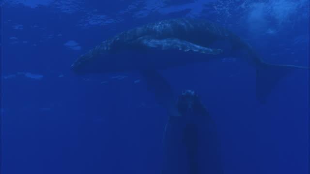 SLO MO MS LA Two Humpback whales (Megaptera novaeangliae) swimming underwater / Moorea, Tahiti, French Polynesia