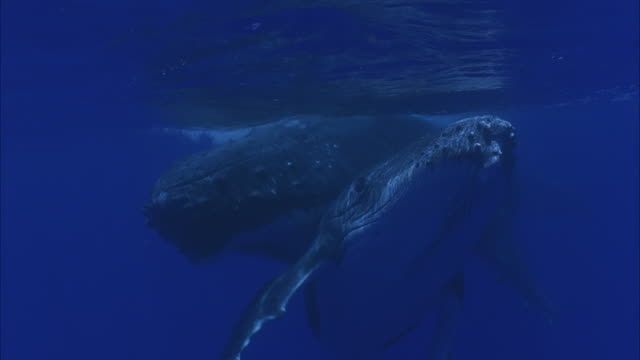 slo mo cu two humpback whales (megaptera novaeangliae) swimming underwater / moorea, tahiti, french polynesia - cetacea stock videos & royalty-free footage