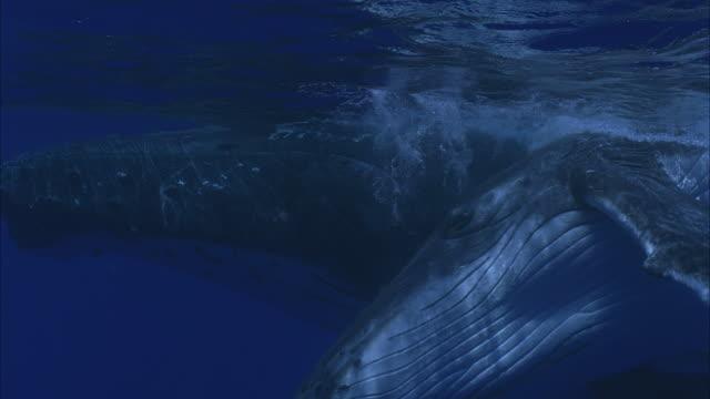 SLO MO CU Two Humpback whales (Megaptera novaeangliae) swimming underwater / Moorea, Tahiti, French Polynesia