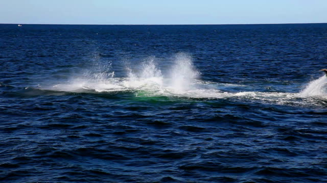 Two Humpback Whales waving their tails